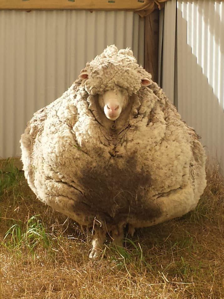 самая вкусная порода овец работы