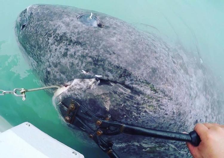 Вы не поверите, но этой акуле уже более 500 лет!