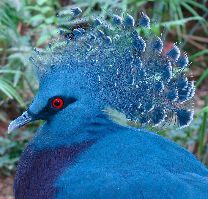 Самый большой голубь в мире