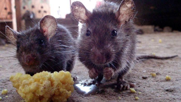 Откуда на советских подлодках брались крысы, и как с ними боролись