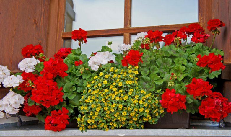 цветочные композиции с пеларгонией фото жили центральной