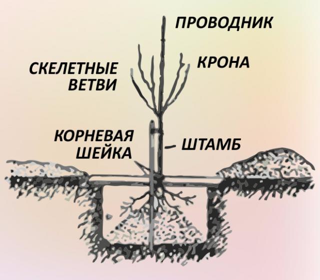 Всё о выращивании плодовых деревьев