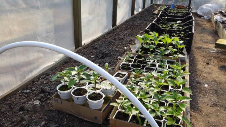 Шпаргалка, которая поможет высаживать рассаду в открытый грунт и теплицу