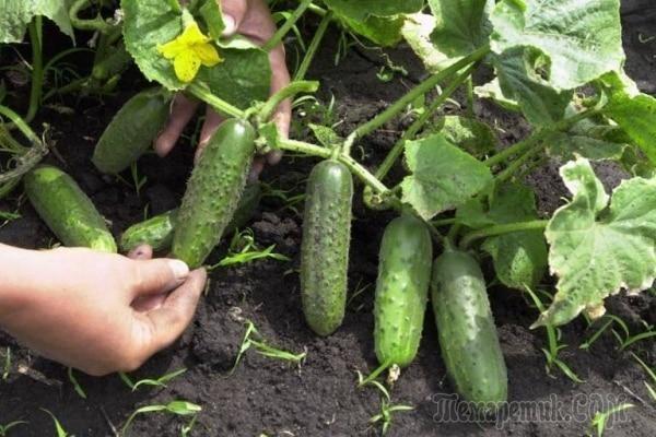 Когда можно сеять огурцы, тыкву и кабачки