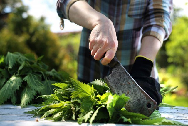 Чем так полезна крапива, и как правильно применять её в саду и огороде