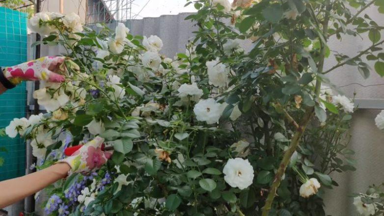 Летнее укоренение роз