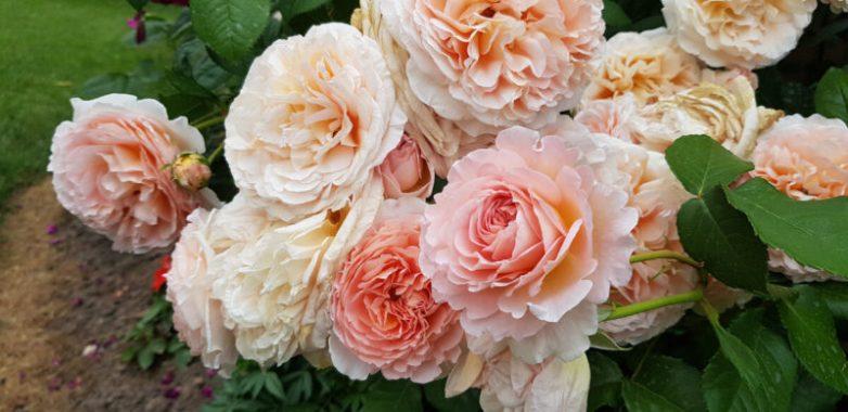 Использование английской соли для получения более ярких и красивых роз