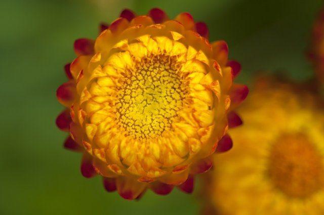 Однолетники с жёлтыми и оранжевыми цветками