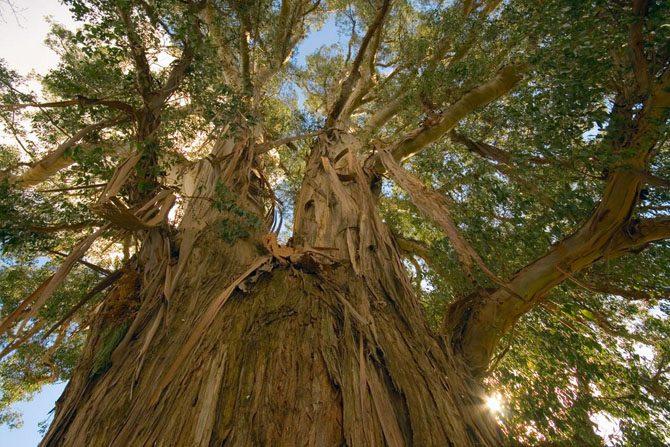 5 высочайших деревьев планеты Земля