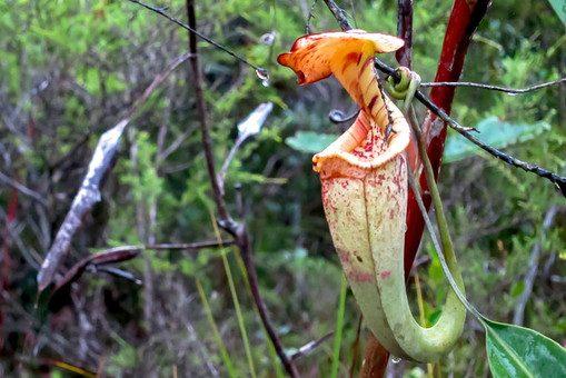 На лицо прекрасные: обманчивая красота хищных растений