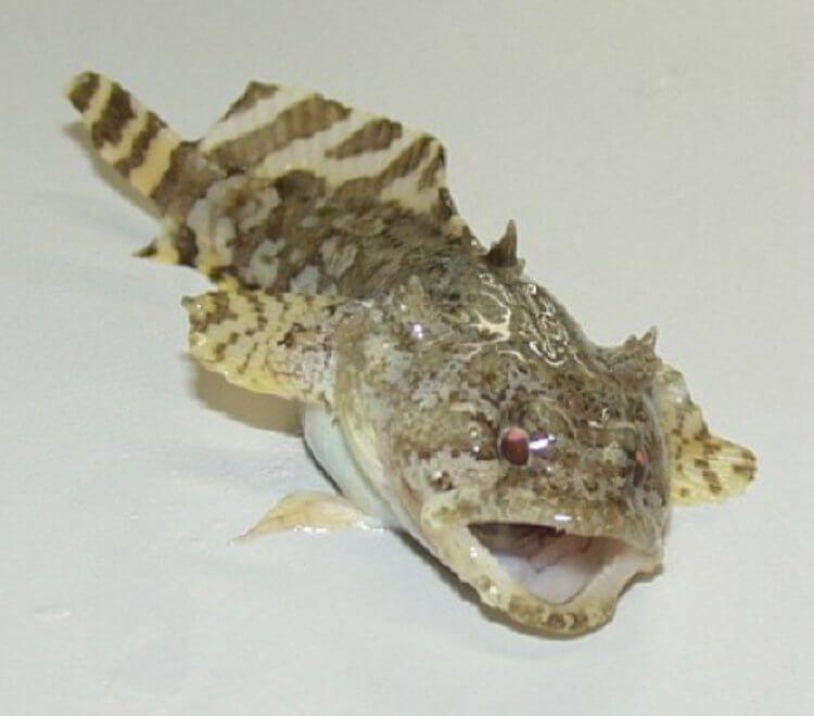 Чем шумовое загрязнение окружающей среды опасно для рыб-жаб?