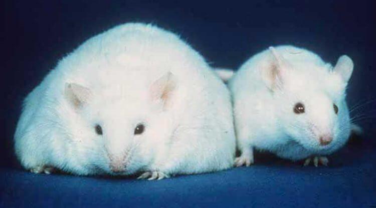 Мерзко, но эффективно: учёные заставили лабораторных крыс потеть жиром