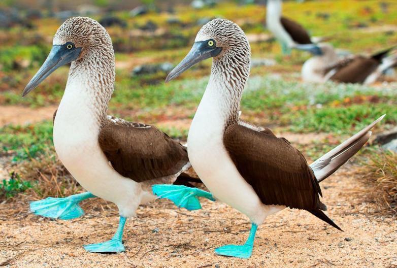 Цвет настроения — синий! Интересные факты о голубоногой олуше