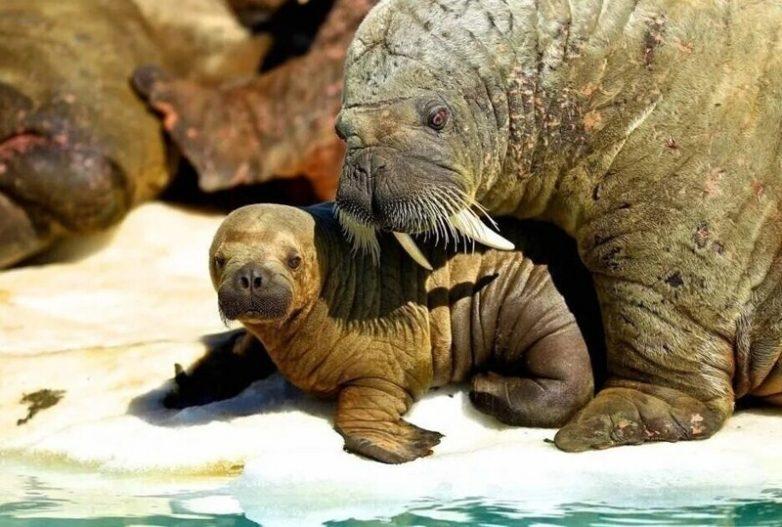 Подборка любопытных фактов о моржах