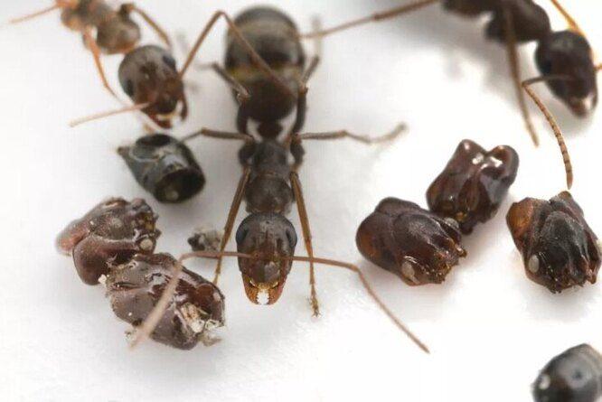 Как воюют муравьи-сорвиголовы