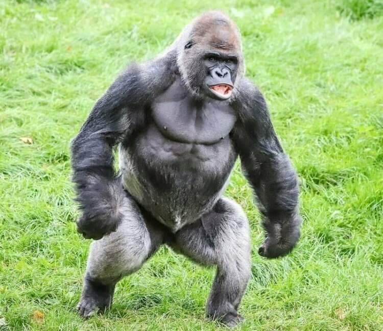Как некоторые приматы хвоста лишились? Объясняют генетики