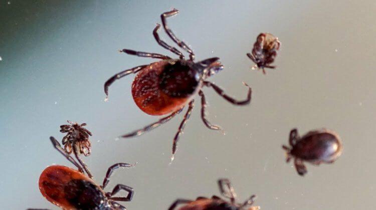 Не энцефалитом единым: вирус Эдзо передаётся через укусы клещей