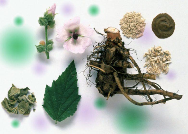 Полезные свойства корня алтея