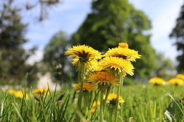 Онкологи считают, что сорняк может стать лекарством