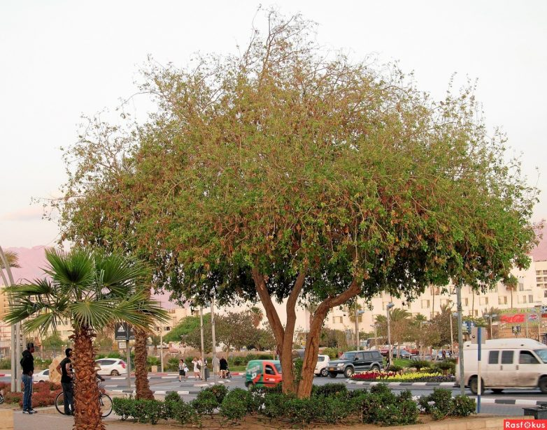 особенно популярно деревья израиля фото с названиями выронила палку инерции