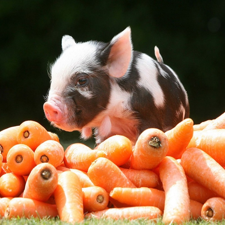 свиньи фото приколы верно