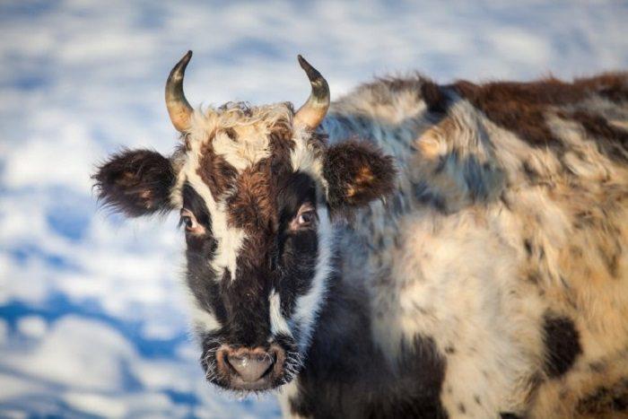 Секрет морозостойкости бурёнок Крайнего Севера