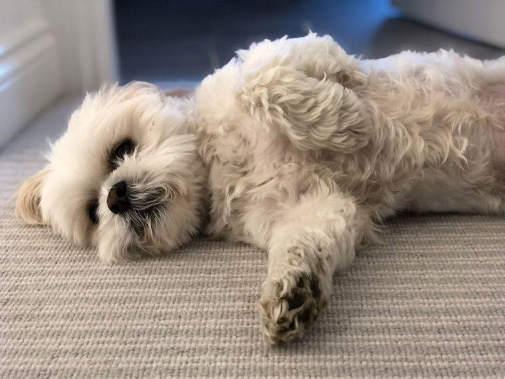12 ленивых пород собак