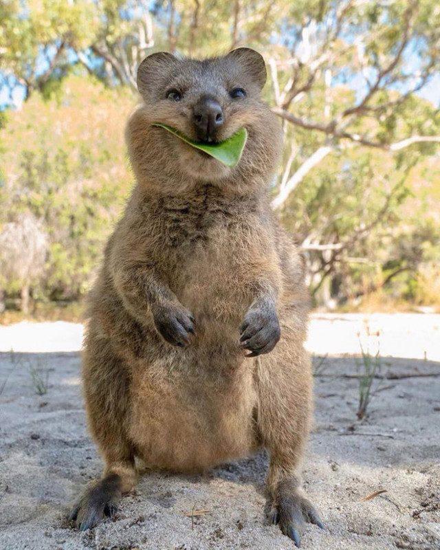 Это квокка, самое счастливое животное на Земле