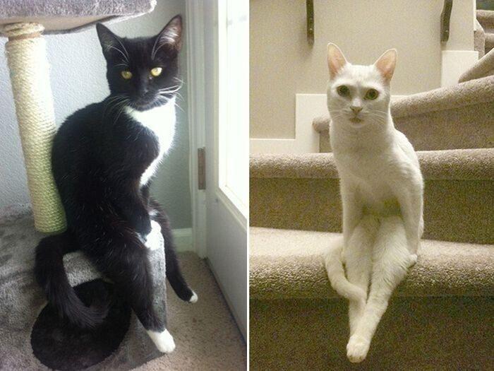 Коты, которые умеют сидеть по-человечески