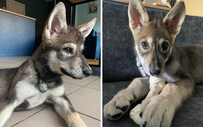 Девушка вырастила волчицу, от которой отказалась мама