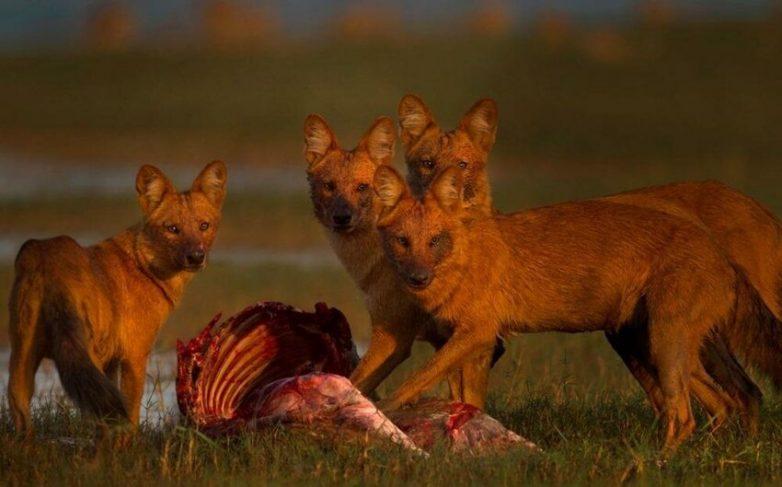 Красные волки