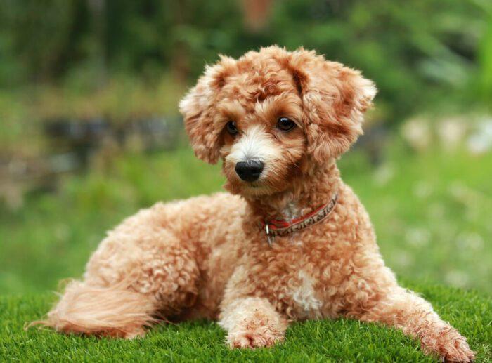 Почему собаки купируют уши и хвосты, ведь природа задумывала по-другому