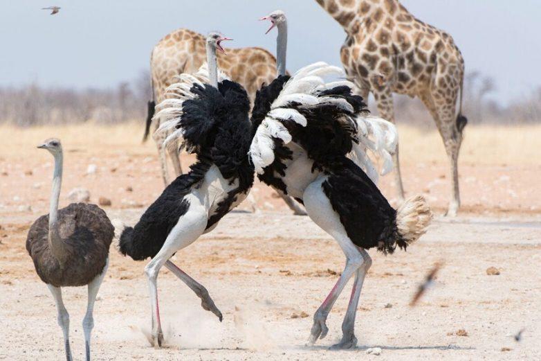 Реальная опасность и поведение крупнейшей птицы