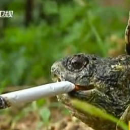 картинка курящего черепашки его