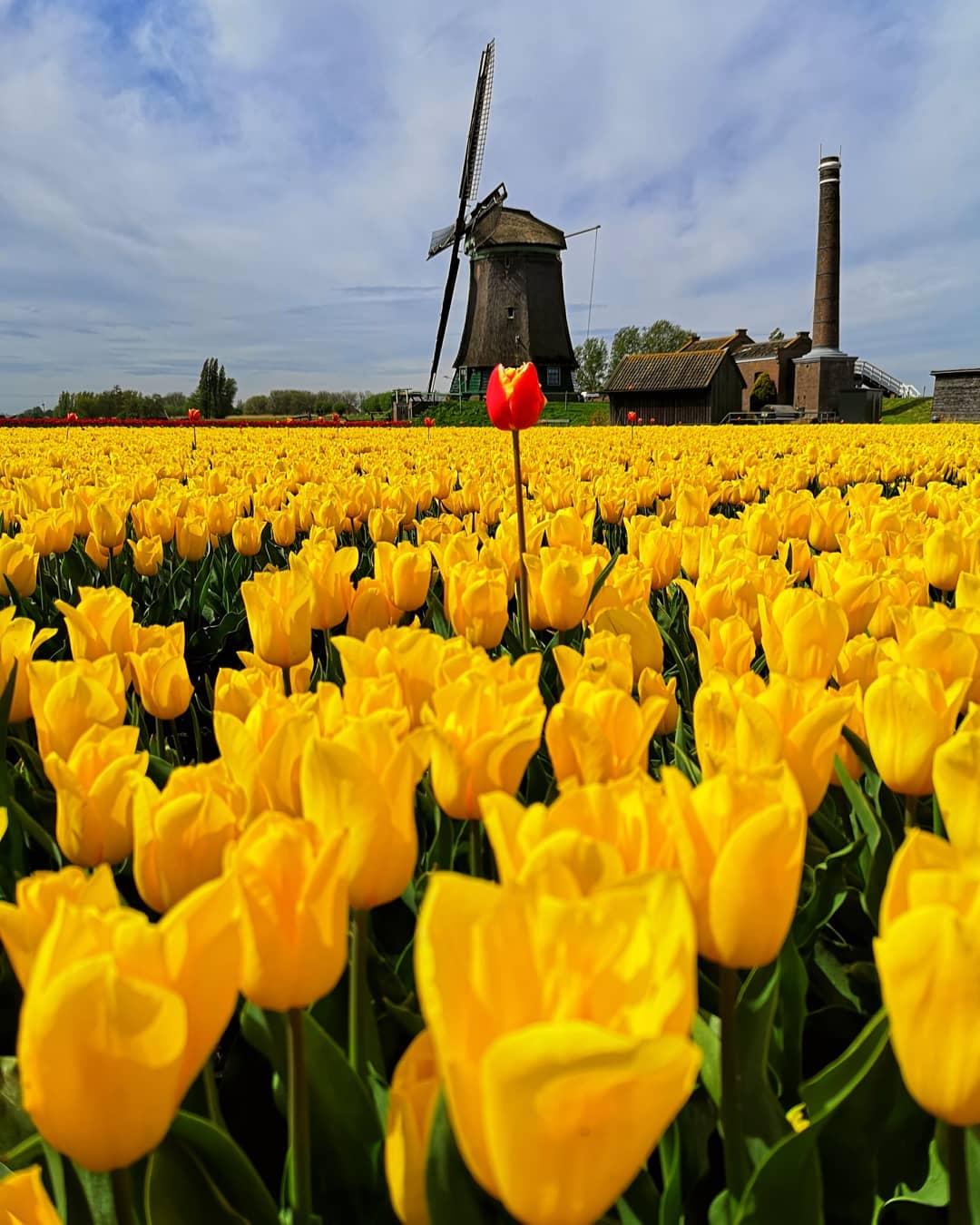 фото голландских тюльпанов любимого актера трясутся